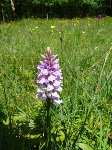 Orkideäng vid Stenshuvuds naturum