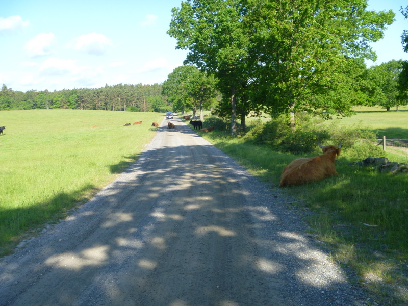 Ravlundafältet med kor som inte flyttar sig