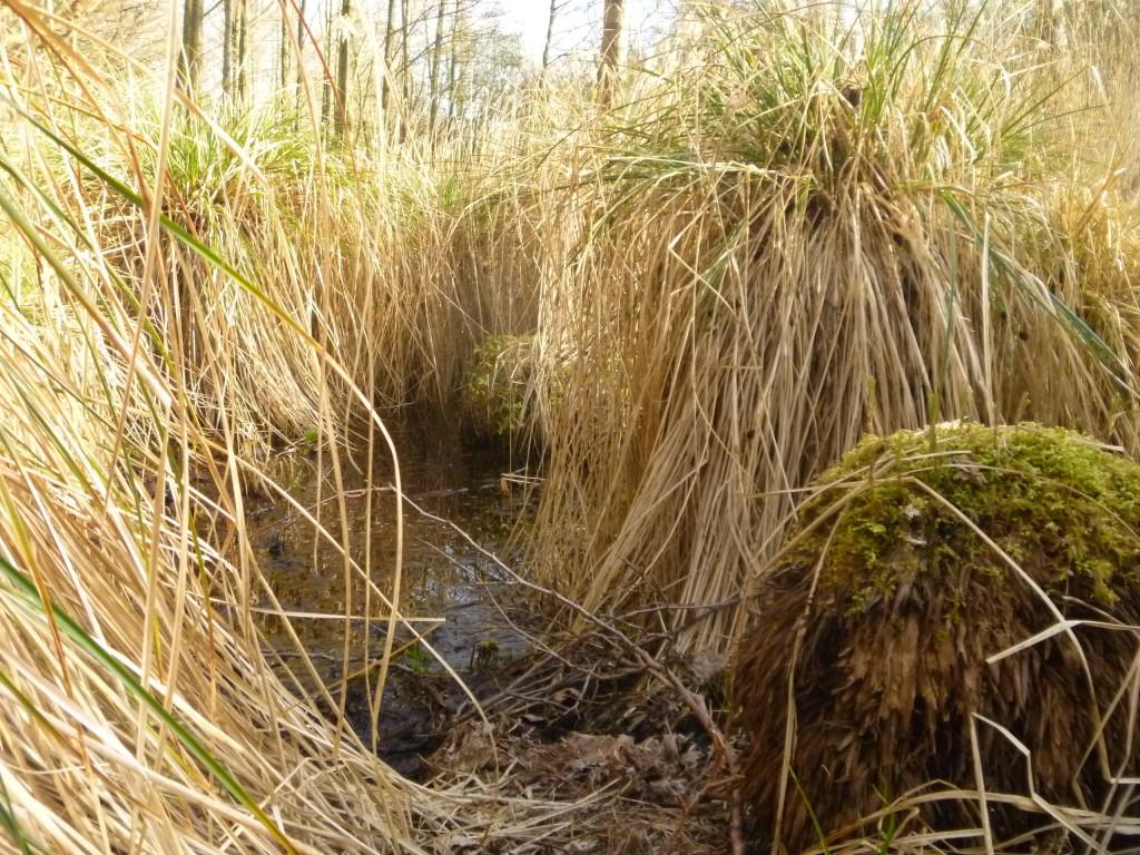 De hundraåriga starrväxterna i kärret i naturreservatet