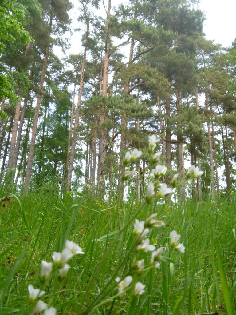 Den fina tallskogen norr om Knäbäckshusen