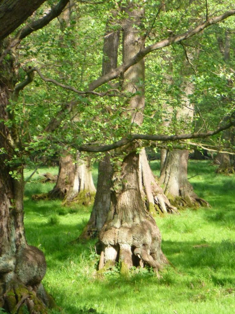 Stora, märkliga träd i Dyrehaven